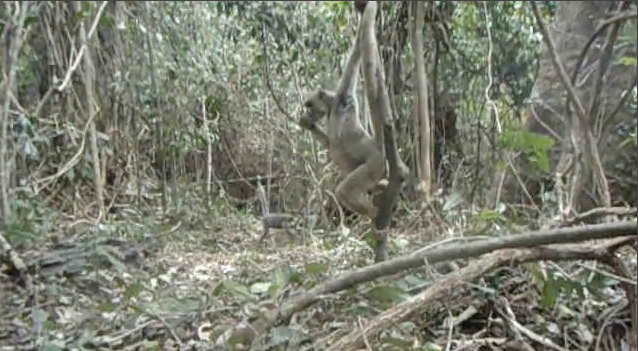 Camera trap image of a northern muriqui descending from the trees.