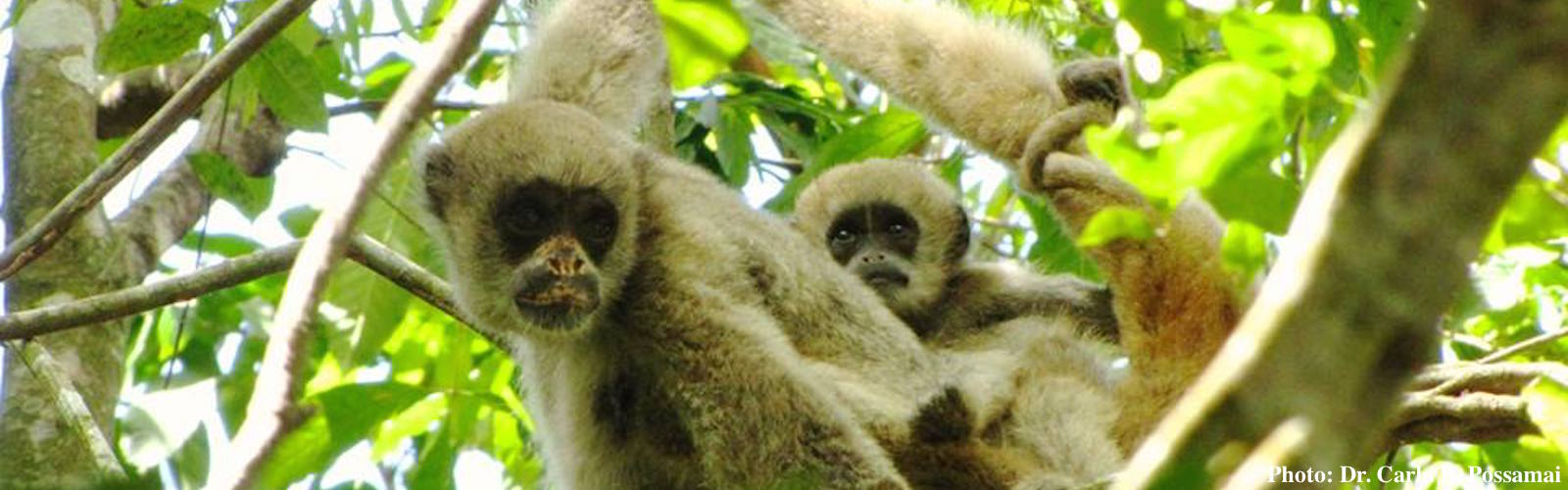 An adult and infant northern muriqui.